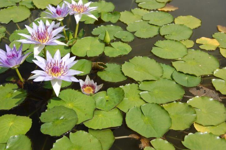 Ninfeia plantas aquáticas com folhas e flores lilás Foto de Altas Copas