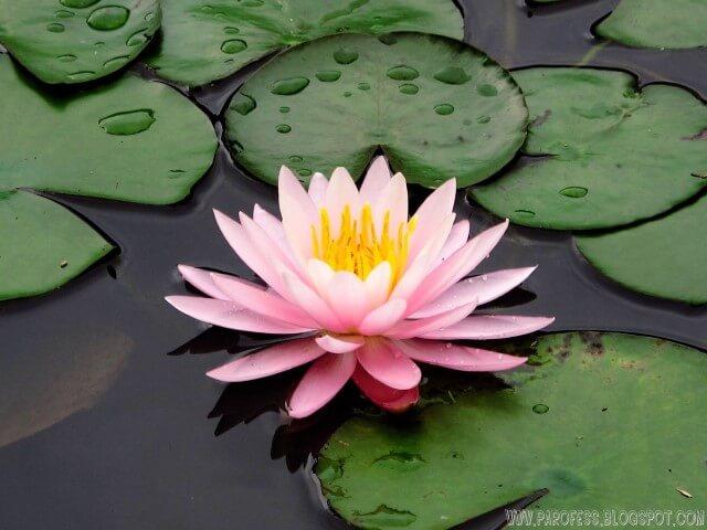 Ninfeia plantas aquáticas cor-de-rosa Foto de Parofess