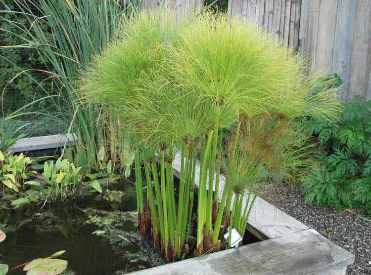 Sombrinha-chinesa plantas aquáticas altas Foto de Planta Sonya