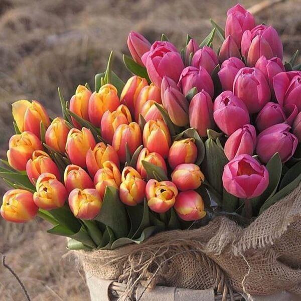 É possível encontrar diferentes tonalidades de tulipa na natureza