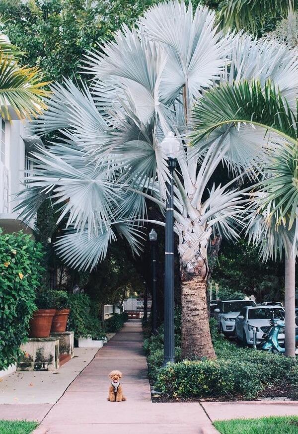 A majestosa Palmeira azul cresce na calçada do bairro sem atrapalhar a passagem dos pedestres