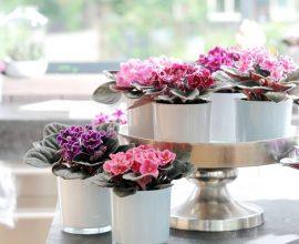 Como cultivar violetas em casa