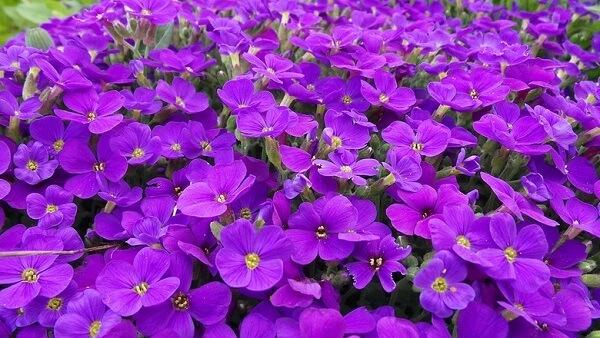 Desfrute da beleza das violetas