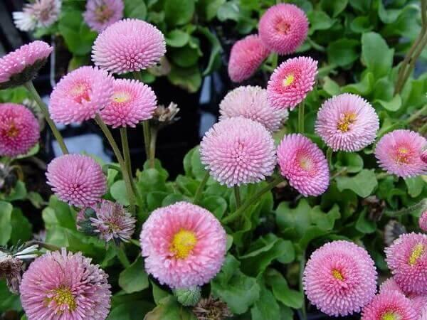 Flores do campo Bonina rosa