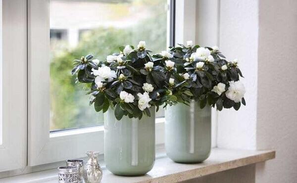 Flores do campo azaleia branca em vaso