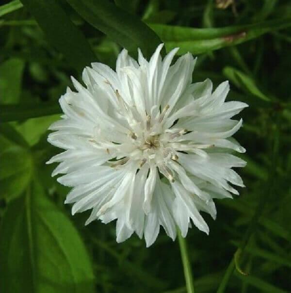 Flores do campo centáurea branca