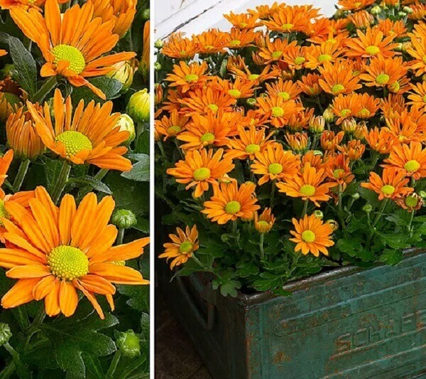 Flores do campo crisântemos laranja