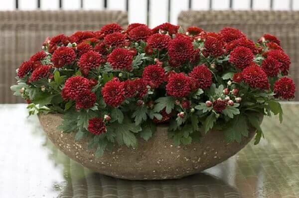 Flores do campo crisântemos vermelha e vaso grande