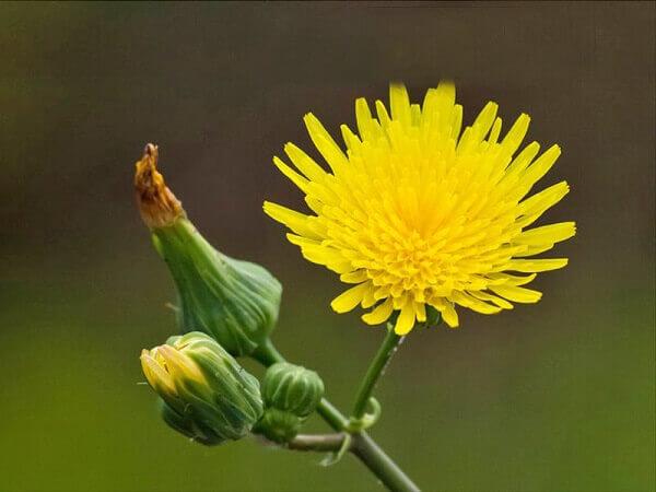 Flores do campo dente de leão
