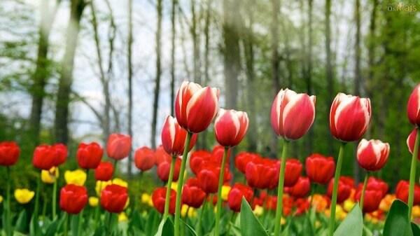 Tulipa como cultivar