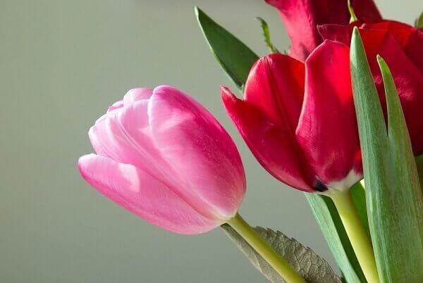Tulipa  de diversas cores