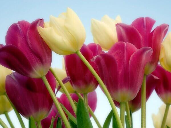 Tulipa em diversas cores