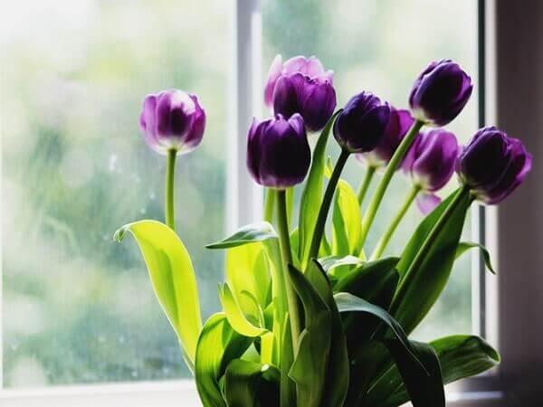 Tulipa roxa na janela