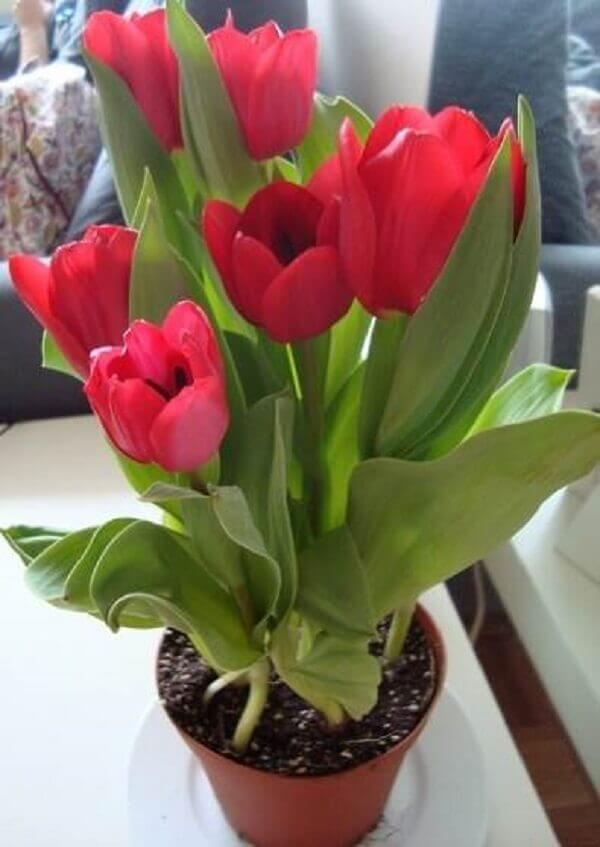 Tulipa vermelha plantada em vaso