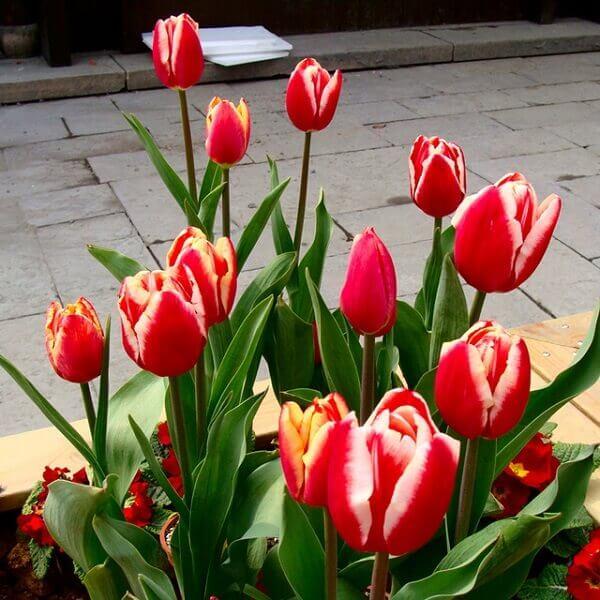 Tulipa vermelha rara