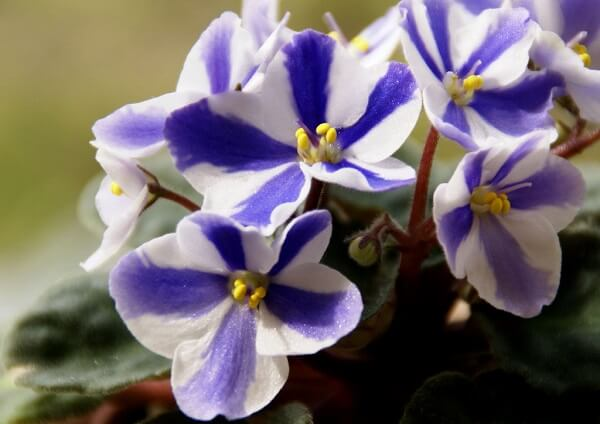 Violetas com cores mescladas