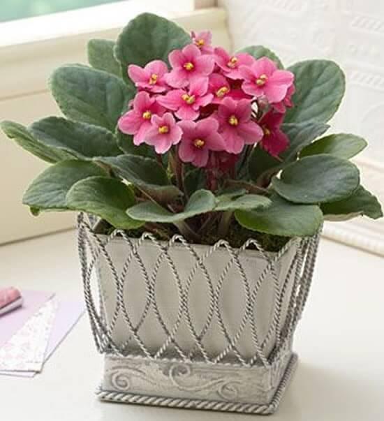 Violetas cor de rosa