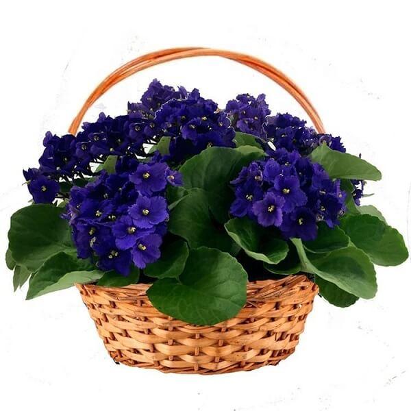 Violetas em cesta