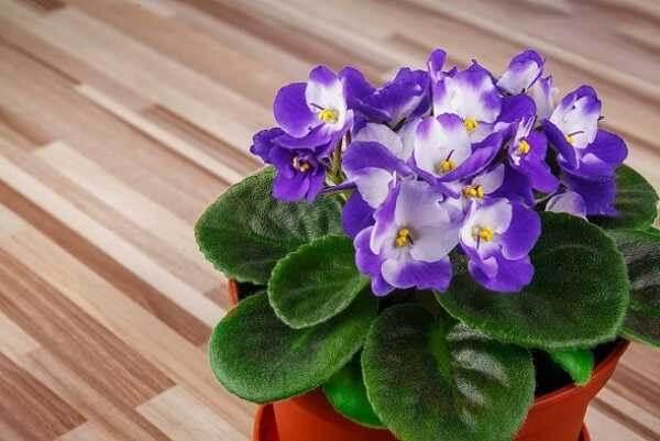 Violetas em vaso