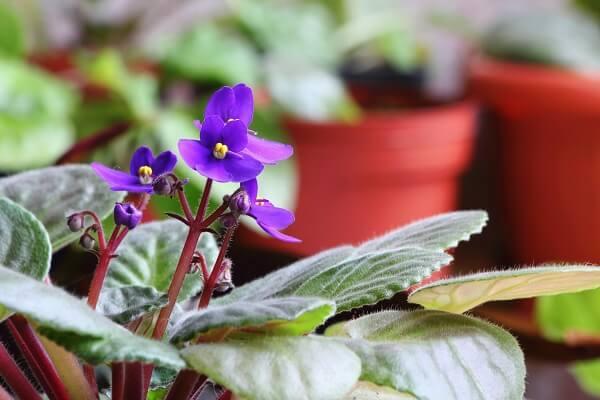 Violetas flores para cuidar