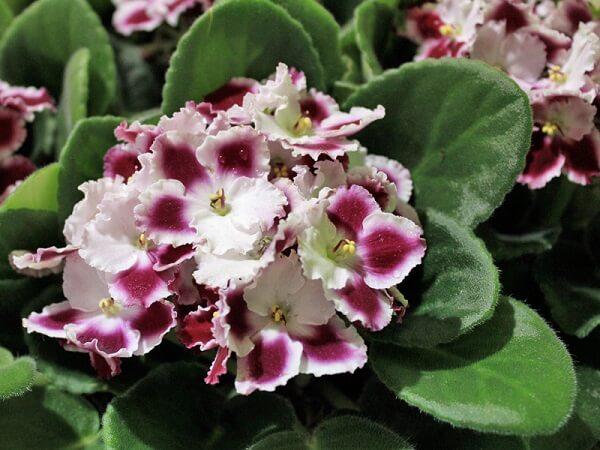 Violetas mescladas decoram o ambiente com delicadeza