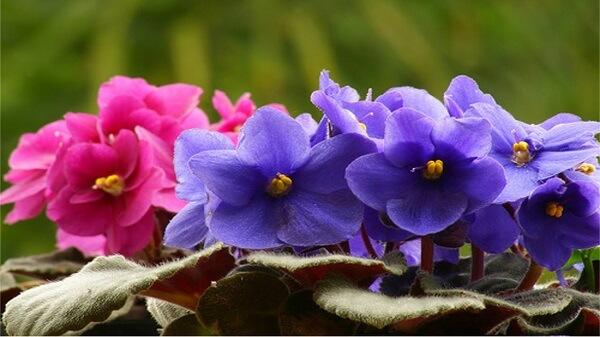 Violetas nas cores roxas e rosas