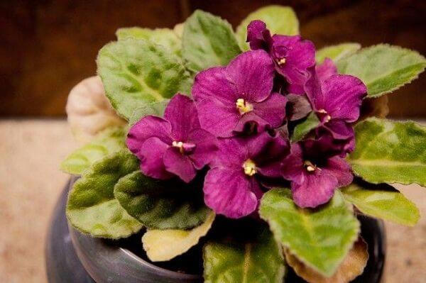 Violetas no vasinho