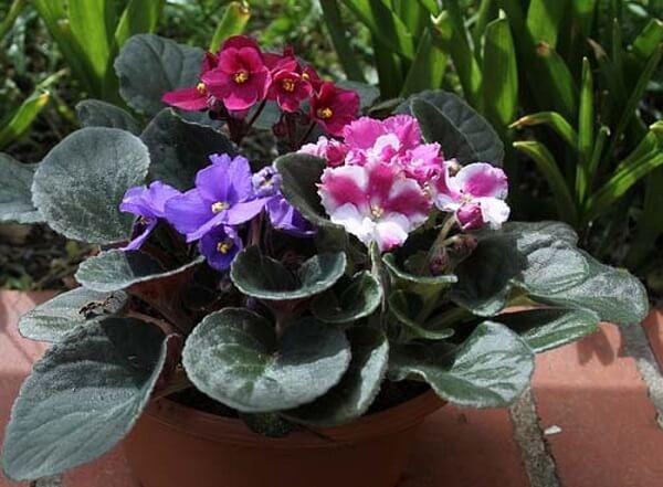 Violetas para decorar
