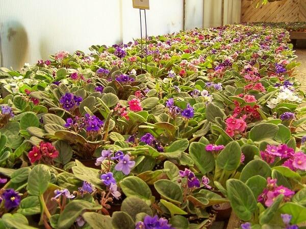 Violetas sempre floridas