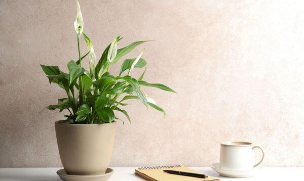 Lírio da paz na decoração de casa