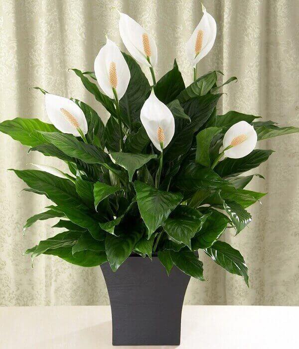 Escolha um lindo vaso com lírio da paz