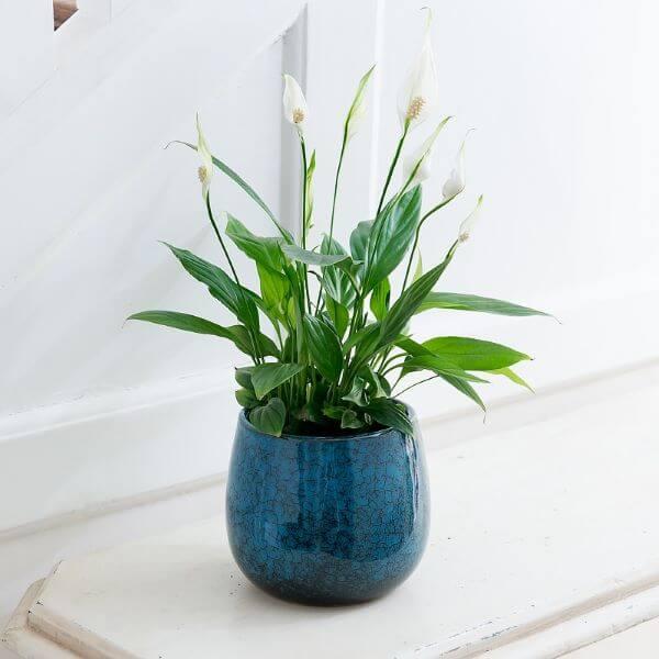 Vaso azul com lírio da paz