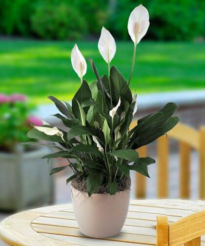 Vaso de lírio da paz na decoração de casa