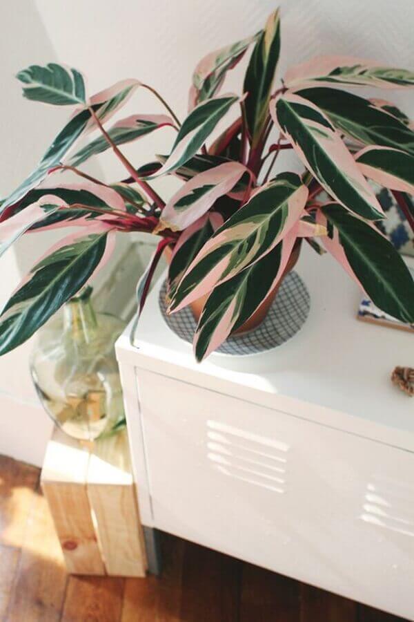 A Maranta é uma tendencia na decoração com plantas para sala