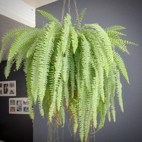 As samambaias apresentam um caimento encantador, por isso são muito como plantas para sala