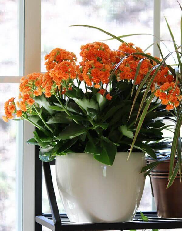 Flor da Fortuna (Kalanchoe blossfeldiana)