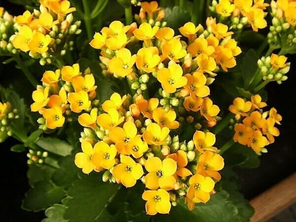Kalanchoe amarelo flores