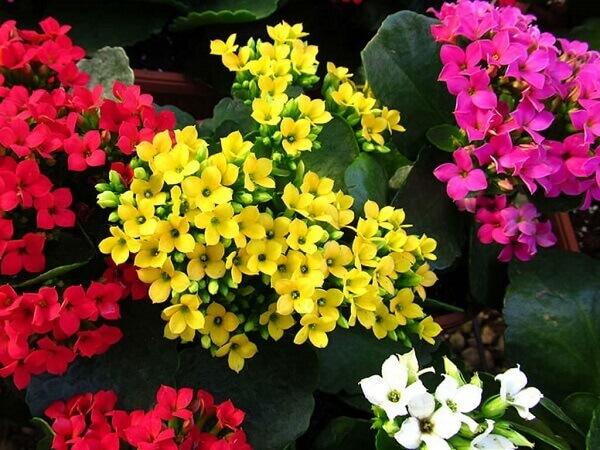 Kalanchoe em diversas cores