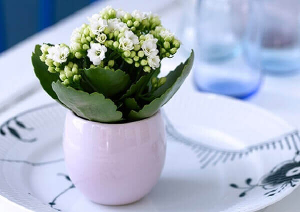 Kalanchoe em vaso branco
