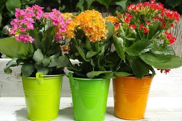 Kalanchoe em vasos coloridos
