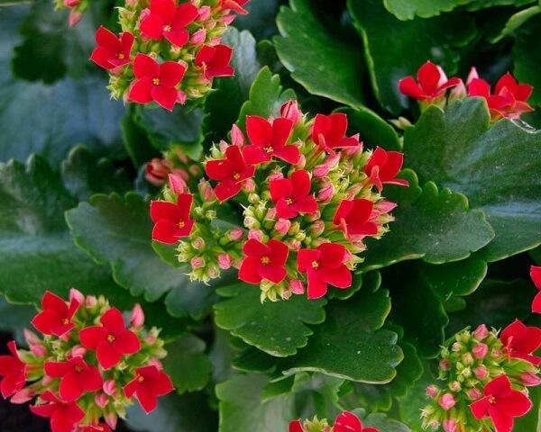 Kalanchoe flores simples