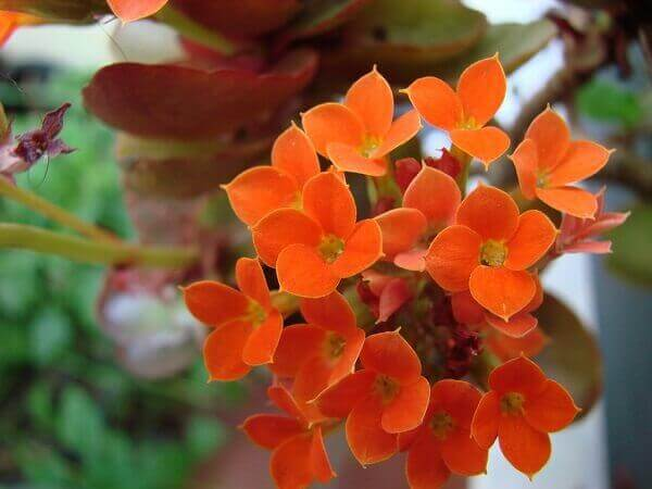 Kalanchoe na cor alaranjada