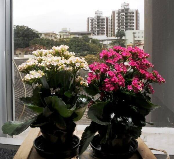 Kalanchoe para decorar escritório