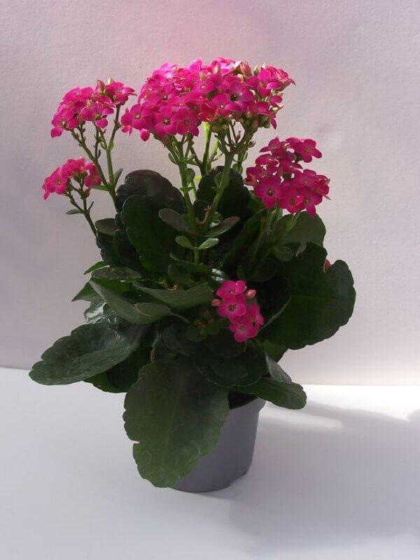Kalanchoe rosa para vaso