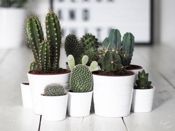 Os cactos são ótimas plantas para sala