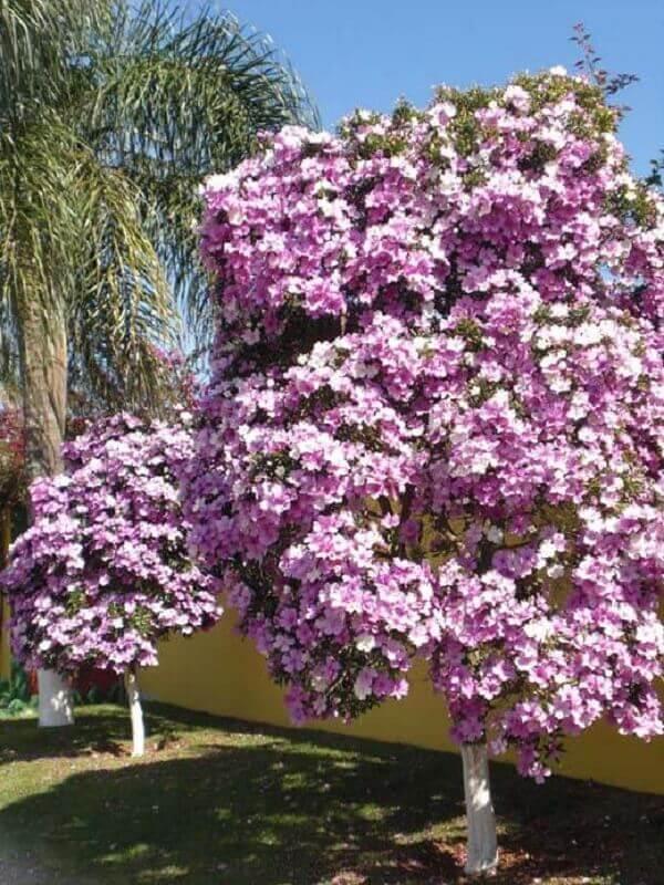 Manacá da Serra para jardim