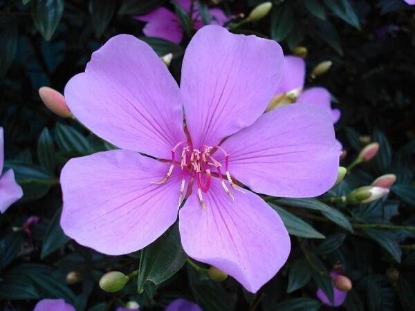 Manacá da serrá detalhe da flor