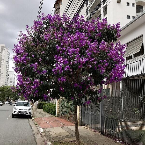 Manacá da Serra em Calçada