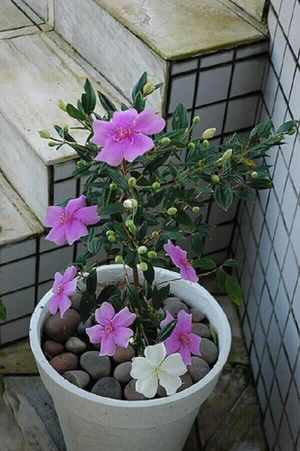 Manacá da serra as flores nascem brancas e ficam lilás