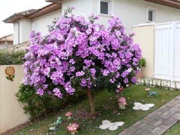 Manacá da serra em jardim de casa simples